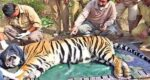 tiger-death