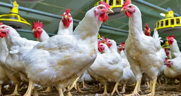 Bird flu in nine districts of Maharashtra