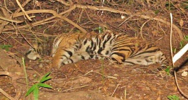 Tigress Found Dead