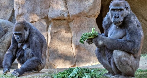 gorillas infection confirmed