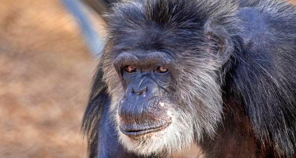 Oldest male chimpanzee dies at San Francisco Zoo