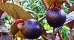 Bihar Agricultural University develops black guava