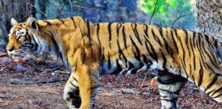 Old tigress Machhli