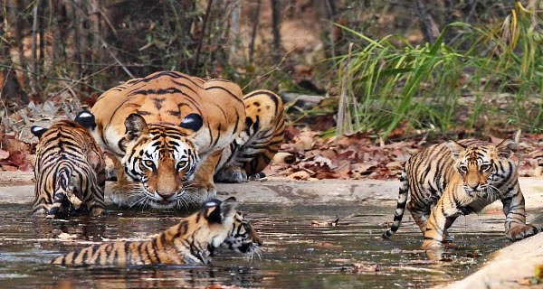 counting of tigers