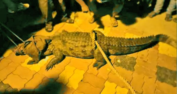 crocodiles in the residential areas of Sangli