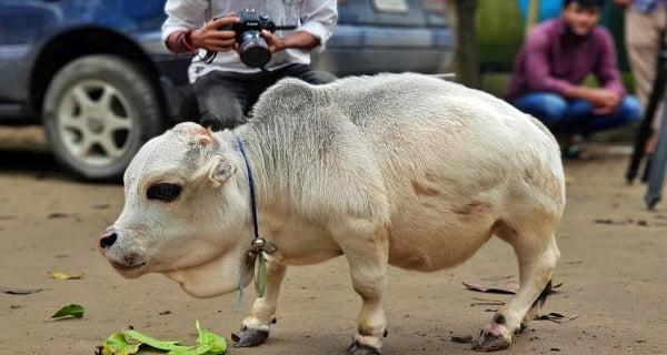 Rani world's smallest cow